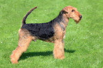Photo Airedale Terrier