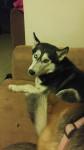 Jake - Malamute d'Alaska (3 ans)