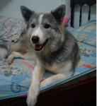 Chien lley - Malamute d\'Alaska Femelle (7 mois)
