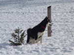 Photo Malamute d'Alaska