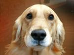 Chien Cuddles - Berger Blanc Suisse - Husky Femelle (0 mois)