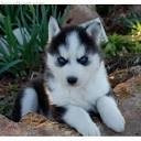 Chien melody - Berger Blanc Suisse - Husky Femelle (8 mois)