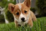 Lushe - Foxhound Américain Mâle (8 mois)