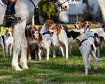 Photo Foxhound Américain