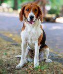 Photo Foxhound Américain