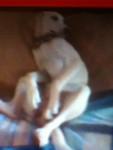 Molly - Foxhound Américain (1 an)