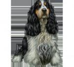 arianne - Silky Terrier Mâle (1 an)