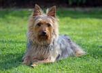 Cera - Silky Terrier