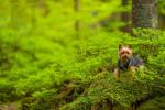 Photo Silky Terrier