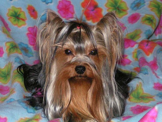 VAN ESKAÏA du TEMPLE DES 7 MERVEILLES - Silky Terrier