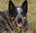 Chien sidney - Australian Stumpy Tail Cattle Dog Femelle (1 an)