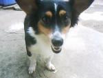 Chien lasy - Australian Stumpy Tail Cattle Dog Femelle (2 ans)