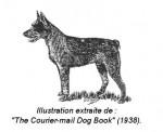 Chien Bouvier Australien Courte Queue - Australian Stumpy Tail Cattle Dog  (Vient de naître)