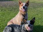 Chien Australian cattle dog - Australian Stumpy Tail Cattle Dog  (Vient de naître)
