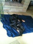 Chien spike - Australian Stumpy Tail Cattle Dog Mâle (7 mois)