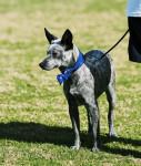 Chien  - Australian Stumpy Tail Cattle Dog  (Vient de naître)