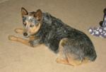 Photo Australian Stumpy Tail Cattle Dog