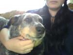 Chien Harley - Australian Stumpy Tail Cattle Dog Mâle (Vient de naître)