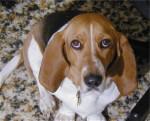 Henrietta - Basset artésien normand (4 ans)