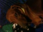 Salchicha - Basset artésien normand Mâle (4 ans)
