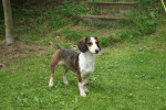 Photo Basset de Westphalie