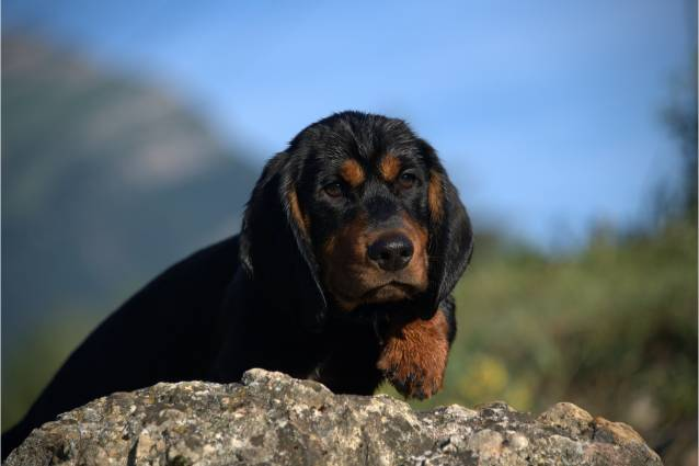Photo Basset des Alpes