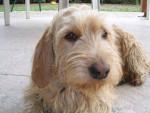 Tania - Basset fauve de Bretagne (1 an et 3 mois)