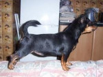 Chien Toffee - Lancashire Heeler Femelle (10 mois)