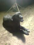 Chien BRAMA - Lancashire Heeler Femelle (2 ans)