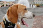 Chien My dog Milo - Beagle-Harrier Mâle (1 an)