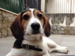 Chien Dream - Beagle-Harrier Mâle (7 mois)