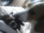 Chien Milo - Beagle-Harrier Mâle (1 an)