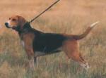 Chien Beagle Harrier - Beagle-Harrier  (Vient de naître)