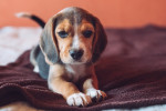 Photo Beagle-Harrier