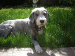 bearded collie - Colley barbu