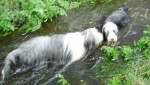 Bearded collie, Nelson et Vib - Colley barbu