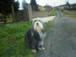 bearded collie Dalcie - Colley barbu