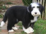 Kassam 4 mois - Colley barbu (4 mois)