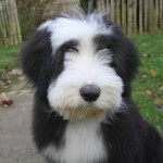 Chien Kassam bearded collie 4 mois - Colley barbu  (4 mois)