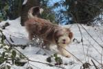Chien Helwing – Lily dans la neige copine de Kassam - Colley barbu Femelle (Vient de naître)