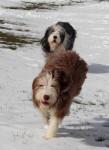 Chien Helwing – Lily et Kassam dans la neige - Colley barbu  (Vient de naître)
