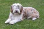Helwing – Lily jolie Bearded Collie - Colley barbu