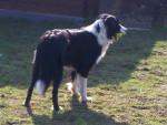 Zira - Colley barbu (2 ans)