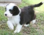 Aaron - Colley barbu Mâle (8 mois)
