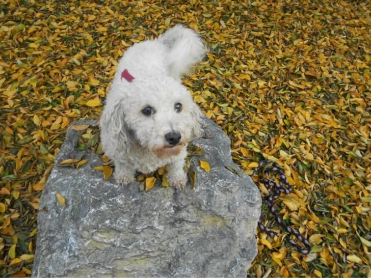 beaty - Bichon frisé (9 ans)