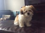 Pixie - Bichon Havanais (5 mois)