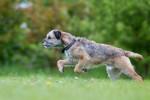 Photo Border Terrier