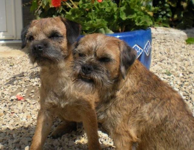 C'Cool et Badine - Border Terrier