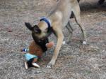 Chien Ayam jeune Whippet joue avec son jouet - Lévrier Whippet  (0 mois)