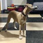 Chien NELSON - Lévrier Whippet Mâle (4 mois)